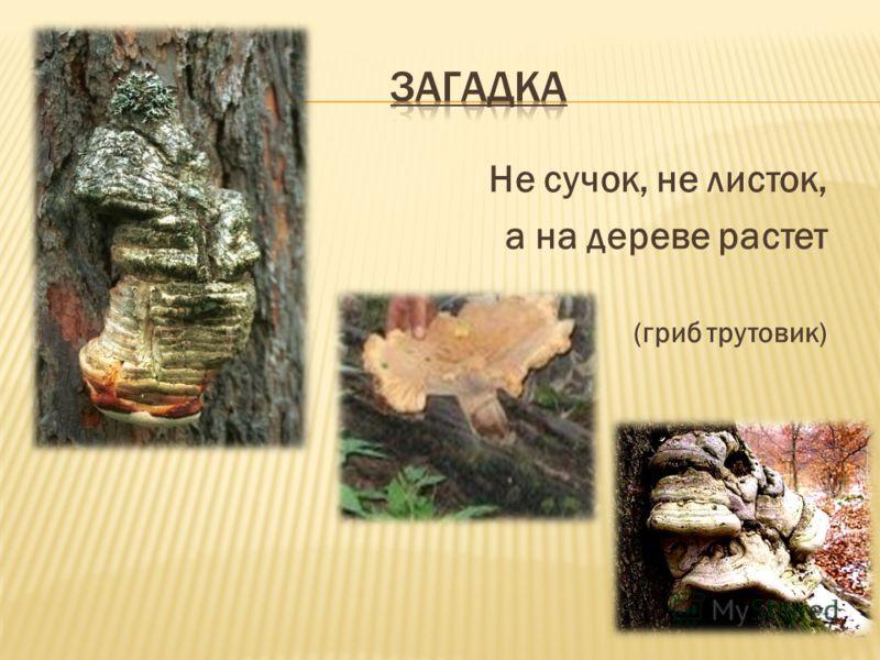Не сучок, не листок, а на дереве растет (гриб трутовик)