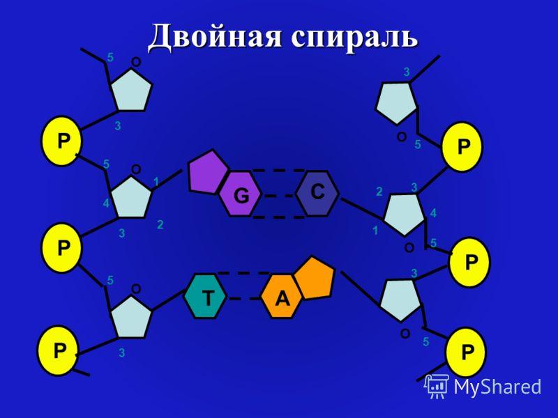 Двойная спираль P P P O O O 1 2 3 4 5 5 3 3 5 P P P O O O 1 2 3 4 5 5 3 5 3 G C TA