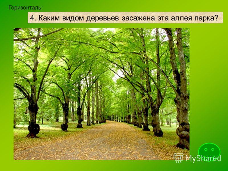 4. Каким видом деревьев засажена эта аллея парка? Горизонталь: