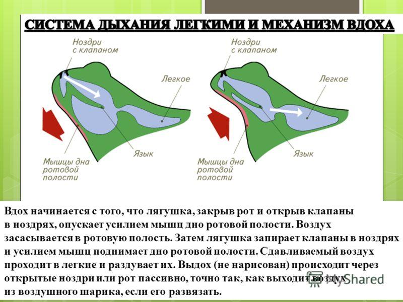 Вдох начинается с того, что лягушка, закрыв рот и открыв клапаны в ноздрях, опускает усилием мышц дно ротовой полости. Воздух засасывается в ротовую полость. Затем лягушка запирает клапаны в ноздрях и усилием мышц поднимает дно ротовой полости. Сдавл