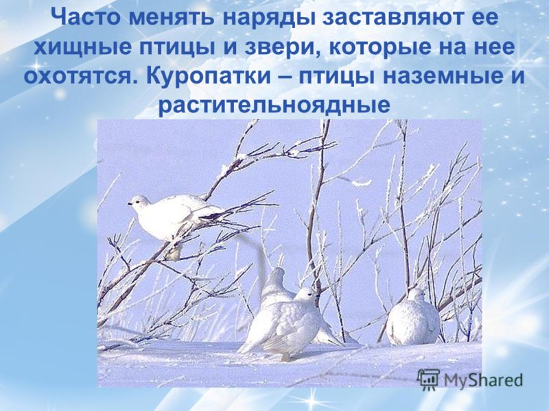Часто менять наряды заставляют ее хищные птицы и звери, которые на нее охотятся. Куропатки – птицы наземные и растительноядные