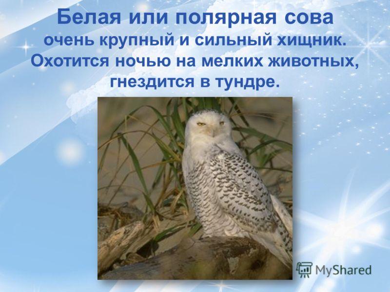 Белая или полярная сова очень крупный и сильный хищник. Охотится ночью на мелких животных, гнездится в тундре.