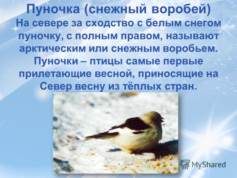 Пуночка (снежный воробей) На севере за сходство с белым снегом пуночку, с полным правом, называют арктическим или снежным воробьем. Пуночки – птицы самые первые прилетающие весной, приносящие на Север весну из тёплых стран.