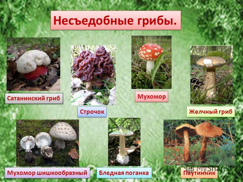 Несъедобные грибы. Сатанинский гриб Строчок Мухомор Желчный гриб Мухомор шишкообразный Бледная поганка Паутинник