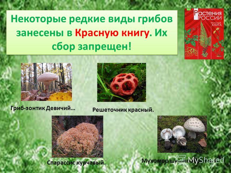 Некоторые редкие виды грибов занесены в Красную книгу. Их сбор запрещен! Гриб-зонтик Девичий… Решеточник красный. Спарассис курчавый. Мухомор шишкообразный.