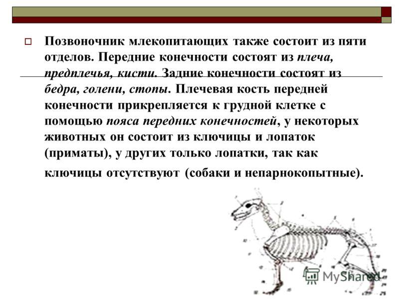 Позвоночник млекопитающих также состоит из пяти отделов. Передние конечности состоят из плеча, предплечья, кисти. Задние конечности состоят из бедра, голени, стопы. Плечевая кость передней конечности прикрепляется к грудной клетке с помощью пояса пер