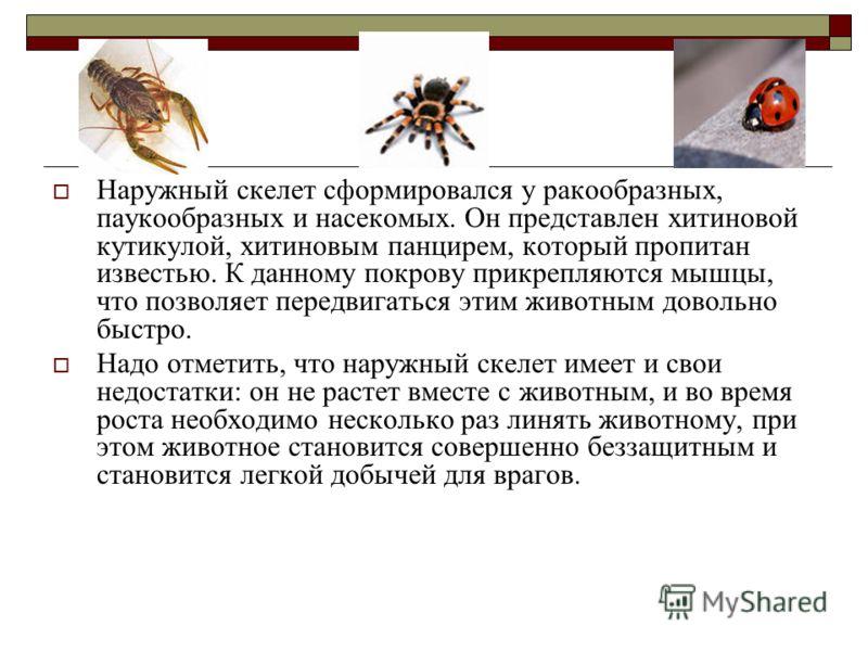 Наружный скелет сформировался у ракообразных, паукообразных и насекомых. Он представлен хитиновой кутикулой, хитиновым панцирем, который пропитан известью. К данному покрову прикрепляются мышцы, что позволяет передвигаться этим животным довольно быст