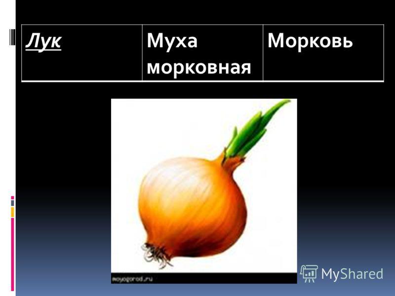 ЛукМуха морковная Морковь