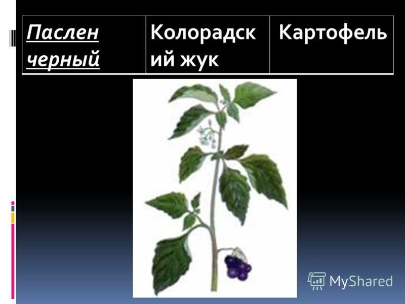 Паслен черный Колорадск ий жук Картофель