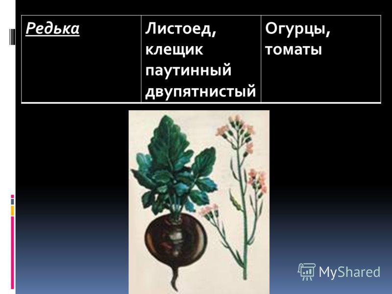 РедькаЛистоед, клещик паутинный двупятнистый Огурцы, томаты