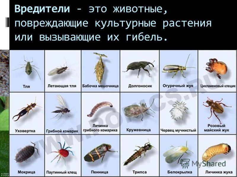 Вредители - это животные, повреждающие культурные растения или вызывающие их гибель.