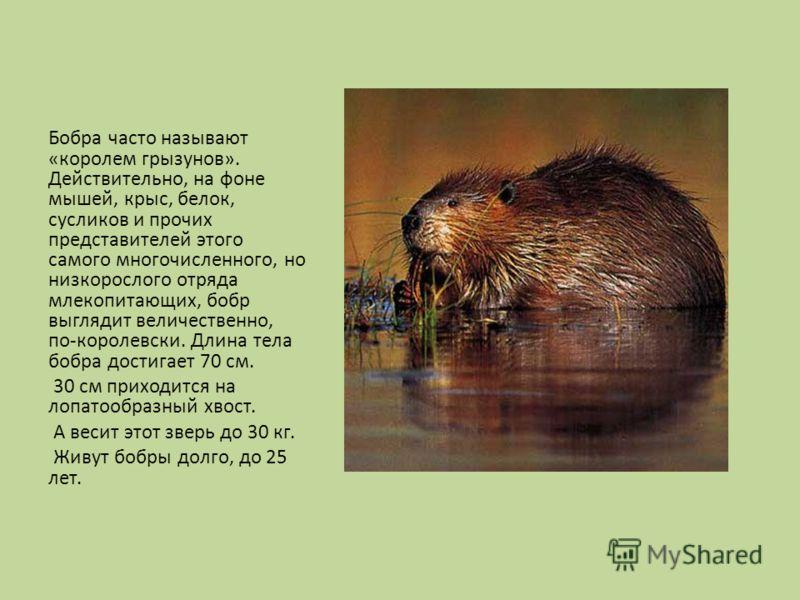 Бобра часто называют «королем грызунов». Действительно, на фоне мышей, крыс, белок, сусликов и прочих представителей этого самого многочисленного, но низкорослого отряда млекопитающих, бобр выглядит величественно, по-королевски. Длина тела бобра дост