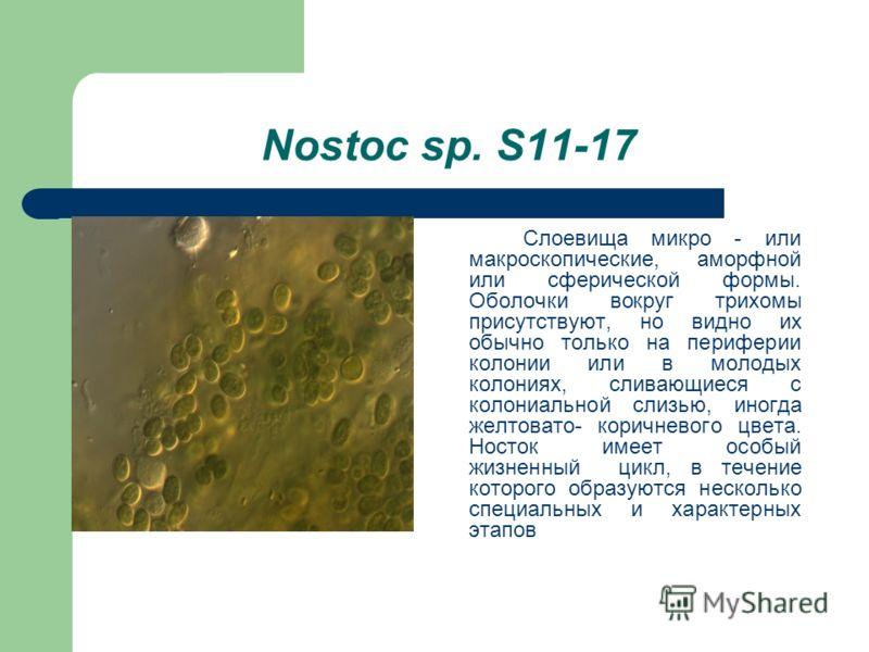 Nostoc sp. S11-17 Слоевища микро - или макроскопические, аморфной или сферической формы. Оболочки вокруг трихомы присутствуют, но видно их обычно только на периферии колонии или в молодых колониях, сливающиеся с колониальной слизью, иногда желтовато-