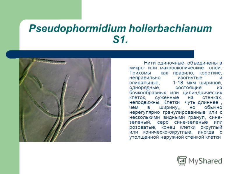 Pseudophormidium hollerbachianum S1. Нити одиночные, объединены в микро- или макроскопические слои. Трихомы как правило, короткие, неправильно изогнутые и спиральные, 1-18 мкм шириной, однорядные, состоящие из бочкообразных или цилиндрических клеток,