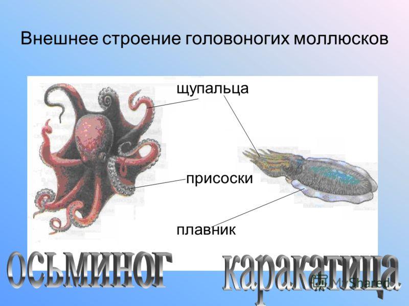 Внешнее строение головоногих моллюсков плавник щупальца присоски