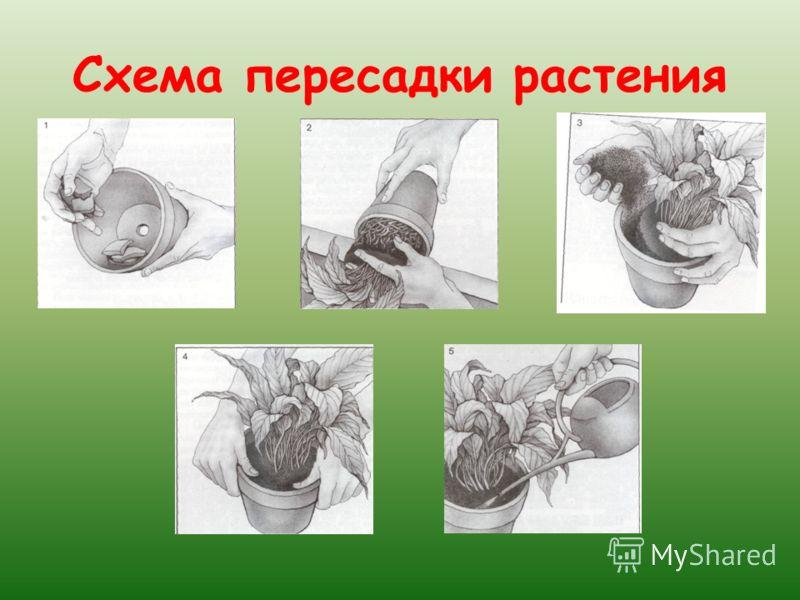 Схема пересадки растения