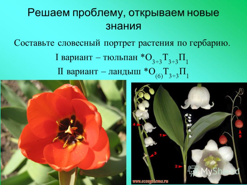 Решаем проблему, открываем новые знания Составьте словесный портрет растения по гербарию. I вариант – тюльпан *О 3+3 Т 3+3 П 1 II вариант – ландыш *О (6) Т 3+3 П 1