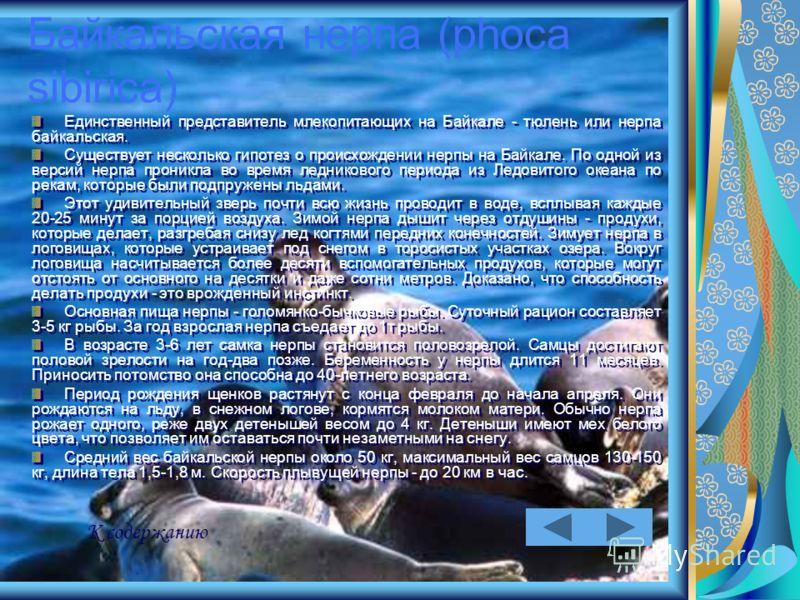 Байкальская нерпа (phoca sibirica) Единственный представитель млекопитающих на Байкале - тюлень или нерпа байкальская. Существует несколько гипотез о происхождении нерпы на Байкале. По одной из версий нерпа проникла во время ледникового периода из Ле