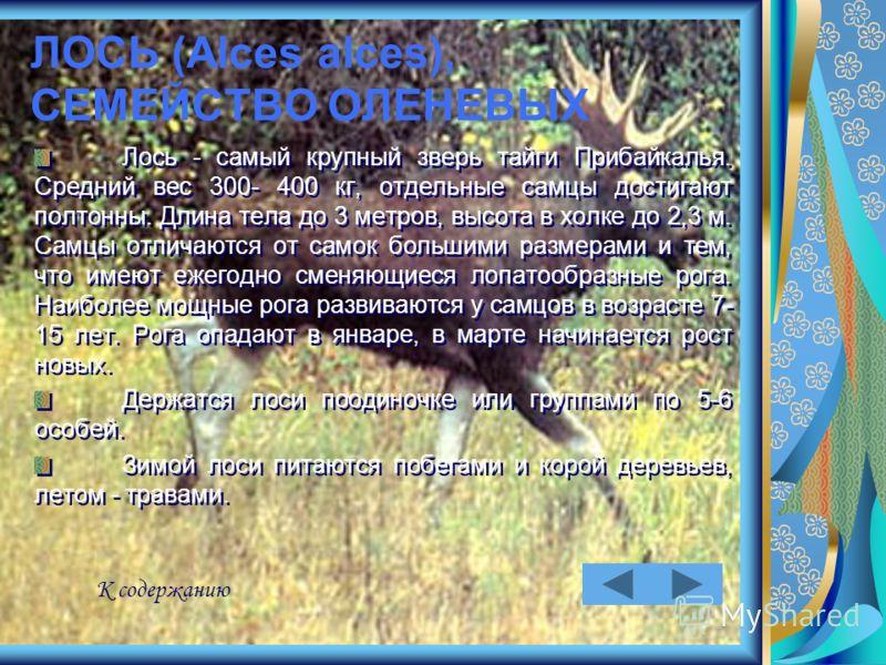 ЛОСЬ (Alces alces), СЕМЕЙСТВО ОЛЕНЕВЫХ Лось - самый крупный зверь тайги Прибайкалья. Средний вес 300- 400 кг, отдельные самцы достигают полтонны. Длина тела до 3 метров, высота в холке до 2,3 м. Самцы отличаются от самок большими размерами и тем, что