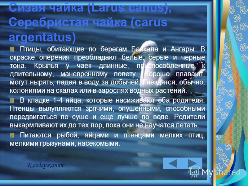 Сизая чайка (Larus canus), Серебристая чайка (carus argentatus) Птицы, обитающие по берегам Байкала и Ангары. В окраске оперения преобладают белые, серые и черные тона. Крылья у чаек длинные, приспособленные к длительному, маневренному полету. Хорошо