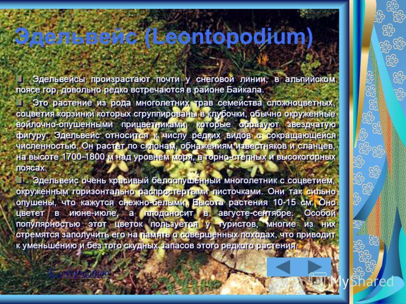 Эдельвейс (Leontopodium) Эдельвейсы произрастают почти у снеговой линии, в альпийском поясе гор, довольно редко встречаются в районе Байкала. Это растение из рода многолетних трав семейства сложноцветных, соцветия корзинки которых сгруппированы в клу