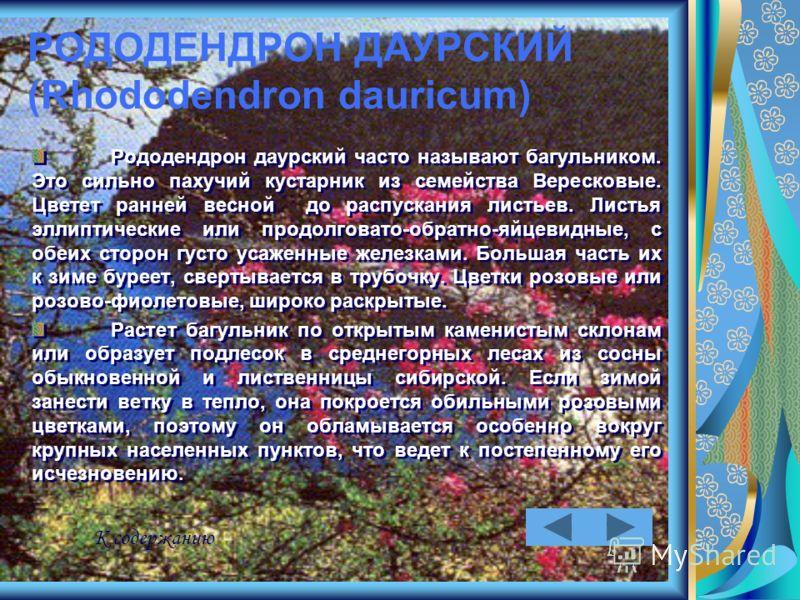РОДОДЕНДРОН ДАУРСКИЙ (Rhododendron dauricum) Рододендрон даурский часто называют багульником. Это сильно пахучий кустарник из семейства Вересковые. Цветет ранней весной до распускания листьев. Листья эллиптические или продолговато-обратно-яйцевидные,