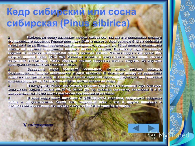 Кедр сибирский или сосна сибирская (Pinus sibirica) Сибирскую сосну называют кедром сибирским, так как это дословный перевод его латинского названия. Дерево достигает 35-40 м высоты. Хвоя длиною 5-12 см собрана в пучок по 5 штук. Шишки продолговато-я
