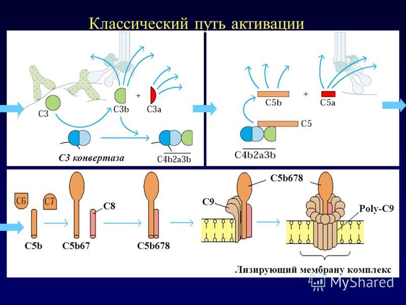 Классический путь активации Лизирующий мембрану комплекс С8 C5bC5b67C5b678 C9 Poly-C9 C5b678 C3 конвертаза