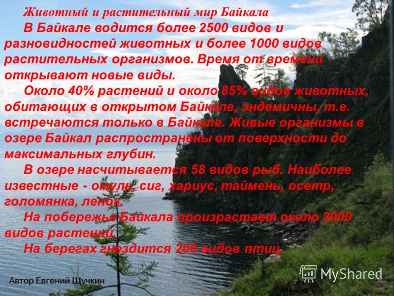 Животный и растительный мир Байкала В Байкале водится более 2500 видов и разновидностей животных и более 1000 видов растительных организмов. Время от времени открывают новые виды. Около 40% растений и около 85% видов животных, обитающих в открытом Ба