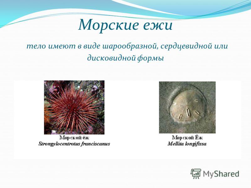 Морские ежи тело имеют в виде шарообразной, сердцевидной или дисковидной формы