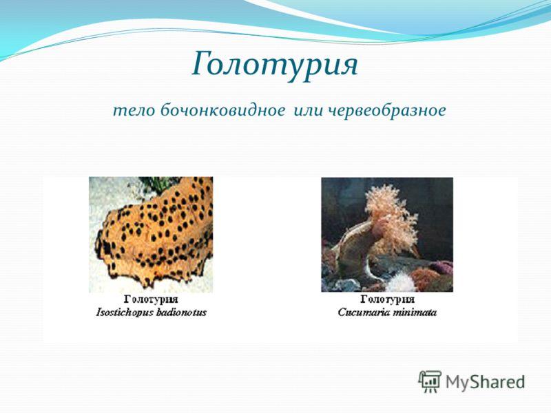 Голотурия тело бочонковидное или червеобразное