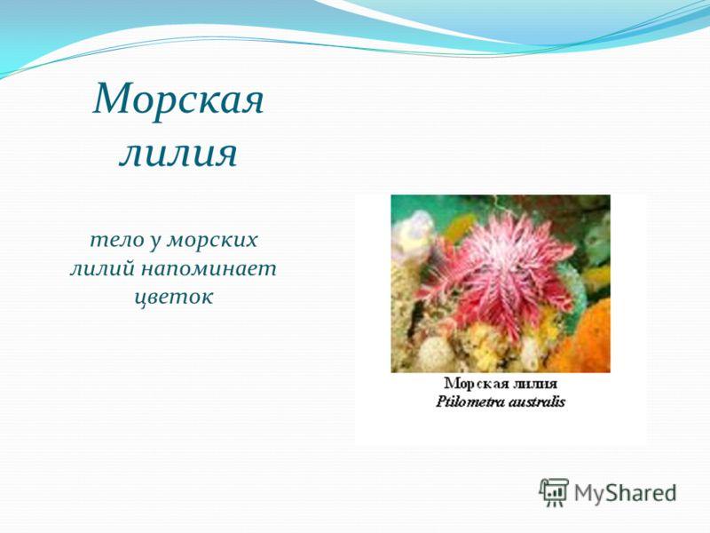 Морская лилия тело у морских лилий напоминает цветок