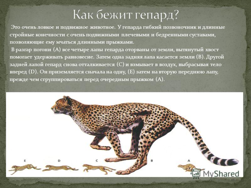 Это очень ловкое и подвижное животное. У гепарда гибкий позвоночник и длинные стройные конечности с очень подвижными плечевыми и бедренными суставами, позволяющие ему мчаться длинными прыжками. В разгар погони (А) все четыре лапы гепарда оторваны от