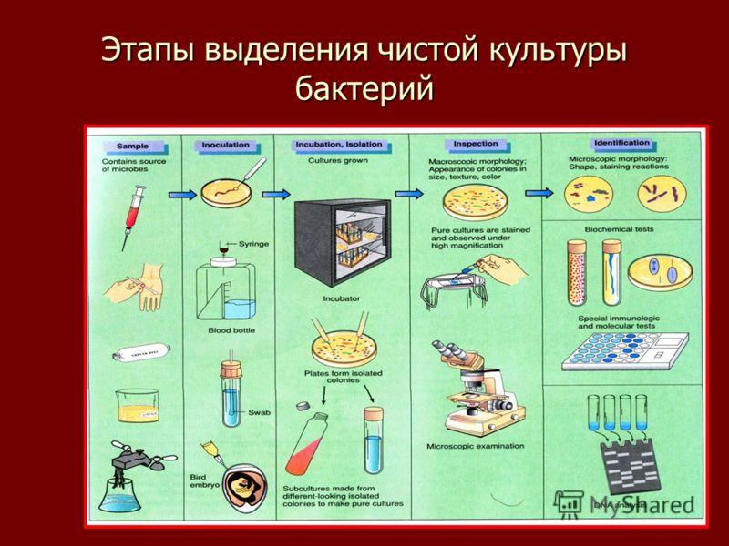 Этапы выделения чистой культуры бактерий