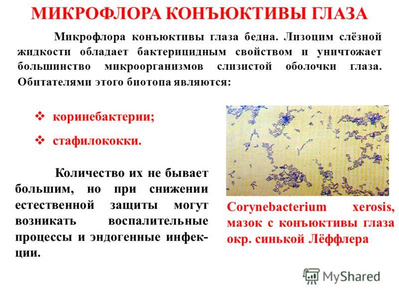 Микрофлора конъюктивы глаза бедна. Лизоцим слёзной жидкости обладает бактерицидным свойством и уничтожает большинство микроорганизмов слизистой оболочки глаза. Обитателями этого биотопа являются: МИКРОФЛОРА КОНЪЮКТИВЫ ГЛАЗА коринебактерии; стафилокок