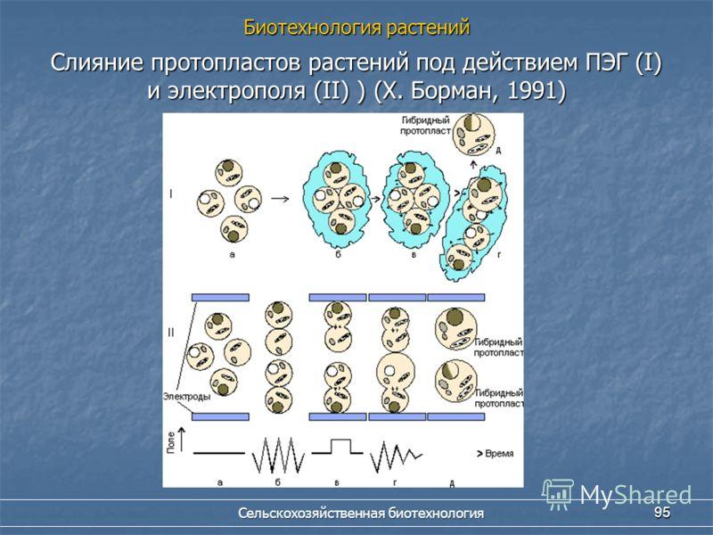 Сельскохозяйственная биотехнология 95 Слияние протопластов растений под действием ПЭГ (I) и электрополя (II) ) (Х. Борман, 1991) Биотехнология растений
