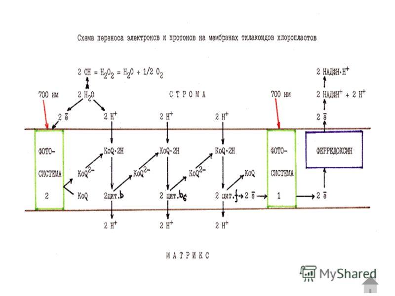 При CAM (Crassulaceae acid metabolism) фотосинтезе происходит разделение ассимиляции CO2 и цикла Кальвина не в пространстве как у С4, а во времени. Ночью в вакуолях клеток по аналогичному вышеописанному механизму при открытых устьицах накапливается м