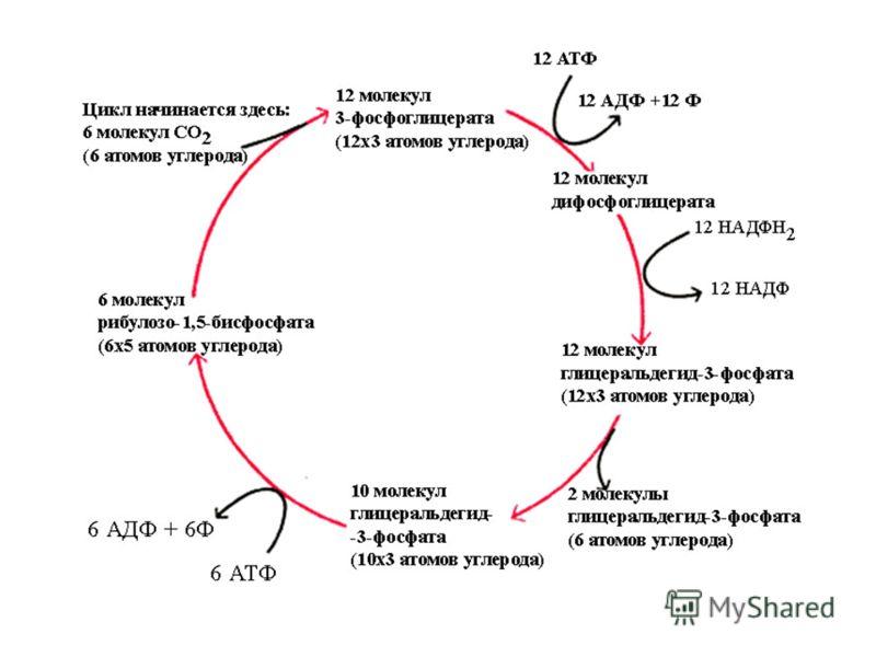 Выделяют три этапа фотосинтеза: фотофизический, фотохимический и химический. На первом этапе происходит поглощение квантов света пигментами, их переход в возбуждённое состояние и передача энергии к другим молекулам фотосистемы. На втором этапе происх