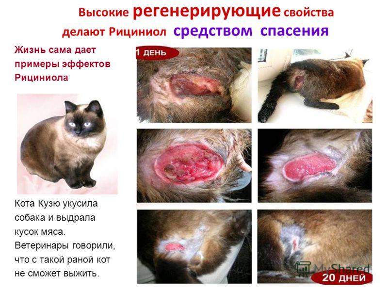 Высокие регенерирующие свойства делают Рициниол средством спасения Жизнь сама дает примеры эффектов Рициниола Кота Кузю укусила собака и выдрала кусок мяса. Ветеринары говорили, что с такой раной кот не сможет выжить.