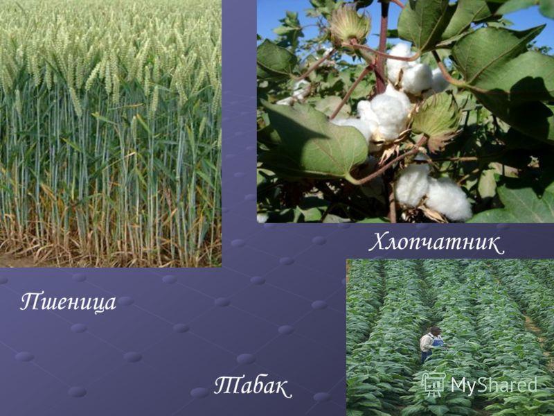 Пшеница Хлопчатник Табак