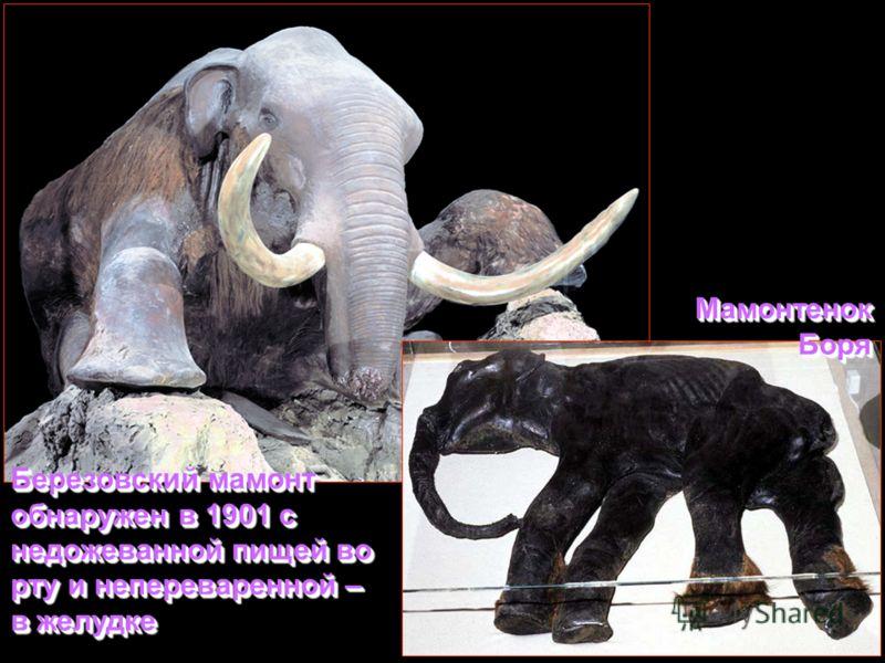 Березовский мамонт обнаружен в 1901 с недожеванной пищей во рту и непереваренной – в желудке Мамонтенок Боря