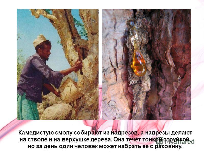 Камедистую смолу собирают из надрезов, а надрезы делают на стволе и на верхушке дерева. Она течет тонкой струйкой, но за день один человек может набрать ее с раковину.