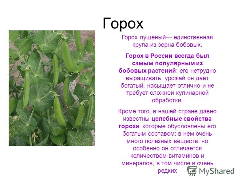 Горох Горох лущеный единственная крупа из зерна бобовых. Горох в России всегда был самым популярным из бобовых растений: его нетрудно выращивать, урожай он даёт богатый, насыщает отлично и не требует сложной кулинарной обработки. Кроме того, в нашей
