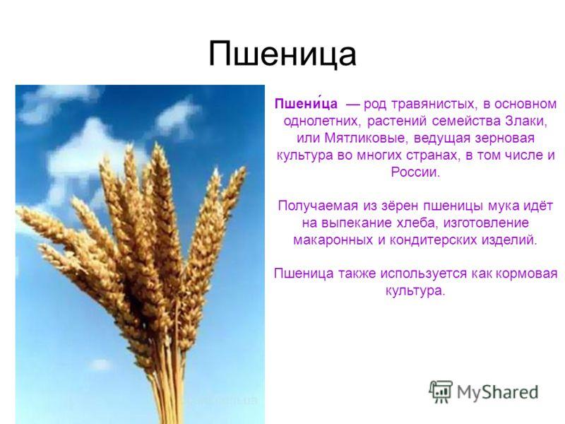 Пшеница Пшени́ца род травянистых, в основном однолетних, растений семейства Злаки, или Мятликовые, ведущая зерновая культура во многих странах, в том числе и России. Получаемая из зёрен пшеницы мука идёт на выпекание хлеба, изготовление макаронных и