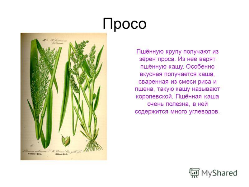 Просо Пшённую крупу получают из зёрен проса. Из неё варят пшённую кашу. Особенно вкусная получается каша, сваренная из смеси риса и пшена, такую кашу называют королевской. Пшённая каша очень полезна, в ней содержится много углеводов.