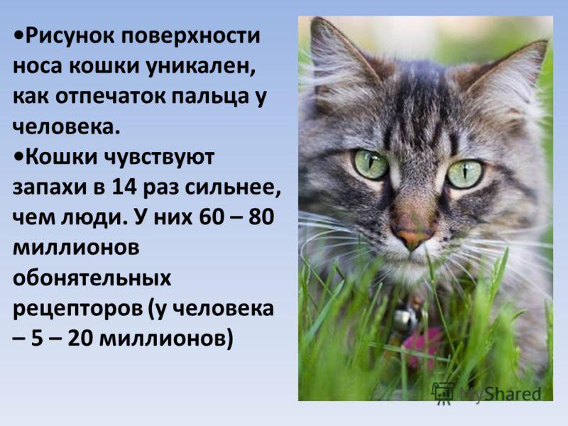Рисунок поверхности носа кошки уникален, как отпечаток пальца у человека. Кошки чувствуют запахи в 14 раз сильнее, чем люди. У них 60 – 80 миллионов обонятельных рецепторов (у человека – 5 – 20 миллионов)