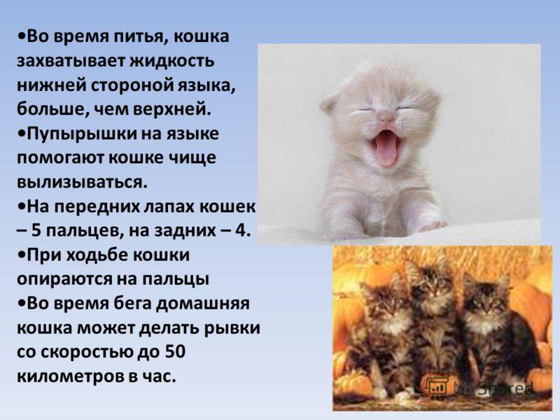 Во время питья, кошка захватывает жидкость нижней стороной языка, больше, чем верхней. Пупырышки на языке помогают кошке чище вылизываться. На передних лапах кошек – 5 пальцев, на задних – 4. При ходьбе кошки опираются на пальцы Во время бега домашня