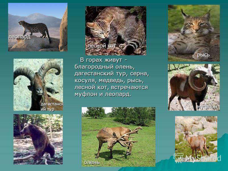 В горах живут - благородный олень, дагестанский тур, серна, косуля, медведь, рысь, лесной кот, встречаются муфлон и леопард. В горах живут - благородный олень, дагестанский тур, серна, косуля, медведь, рысь, лесной кот, встречаются муфлон и леопард.