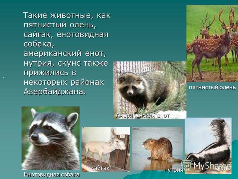 . Такие животные, как пятнистый олень, сайгак, енотовидная собака, американский енот, нутрия, скунс также прижились в некоторых районах Азербайджана. Такие животные, как пятнистый олень, сайгак, енотовидная собака, американский енот, нутрия, скунс та