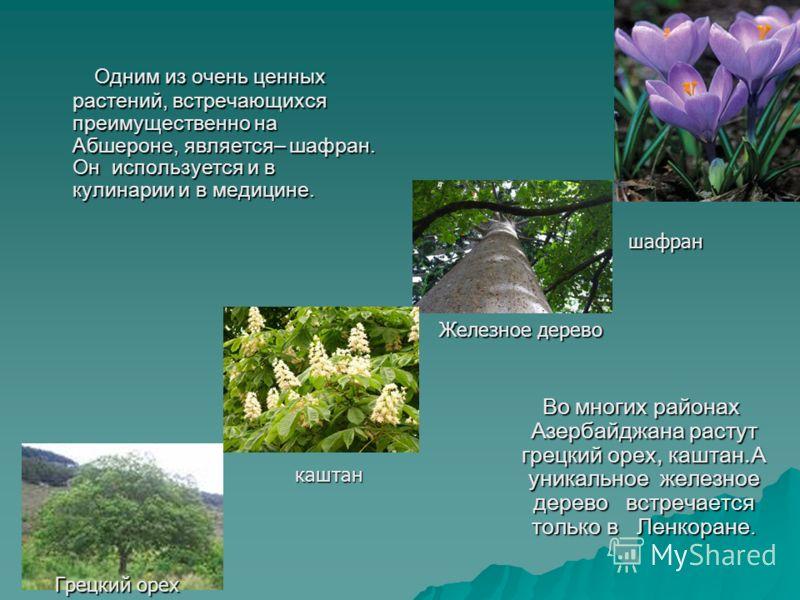 Одним из очень ценных растений, встречающихся преимущественно на Абшероне, является– шафран. Он используется и в кулинарии и в медицине. Одним из очень ценных растений, встречающихся преимущественно на Абшероне, является– шафран. Он используется и в